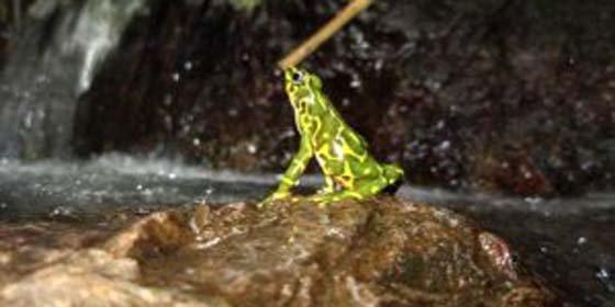 Panamá: lucha sin cuartel por salvar anfibios de un hongo letal