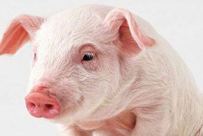 Crean un cerdo transgénico para utilizarlo en trasplantes a humanos