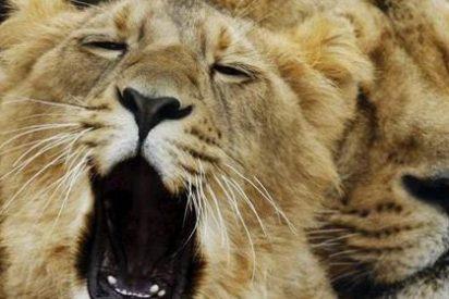 Los ataques de leones a humanos se reducen cuando hay luna llena
