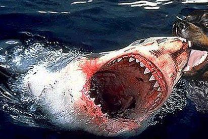 El perro nadador que muerde y hace huir al tiburón arrasa en Youtube