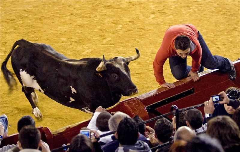 Sueca (Valencia) decide que el toro Ratón participe en sus fiestas de septiembre