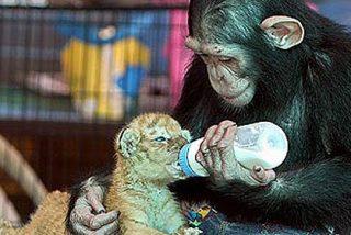El chimpancé cariñoso que da el biberón a los cachorros del tigre