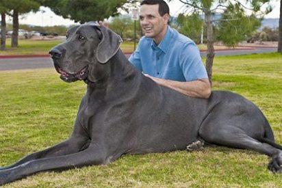 El perro más grande del mundo se llama George, es un dogo alemán y... ¡tiene pánico a los chihuahuas!