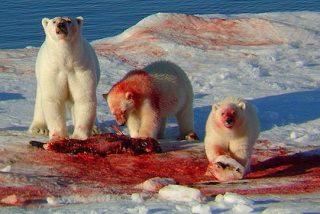 Un oso polar se merienda a un turista de 17 años y hiere a otros cuatro