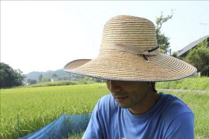 Encuentran un nivel excesivo de radiación en el arroz de Fukushima