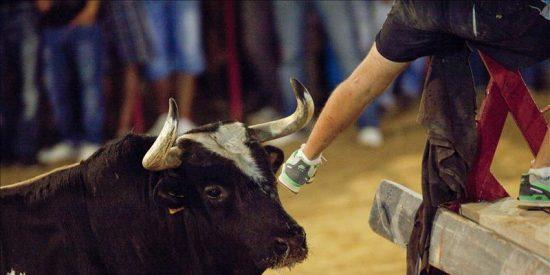 """El toro """"Ratón"""" es exhibido en Canals en un festejo sin incidentes"""