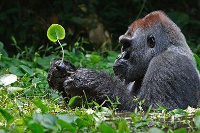 El gorila N'Dowe vende sus pinturas en ebay