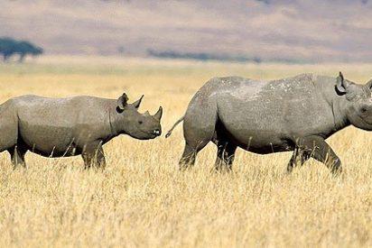 Cómo inseminar artificialmente a una rinoceronte blanca
