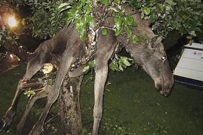 Un sueco encuentra a un alce borracho y subido a un manzano