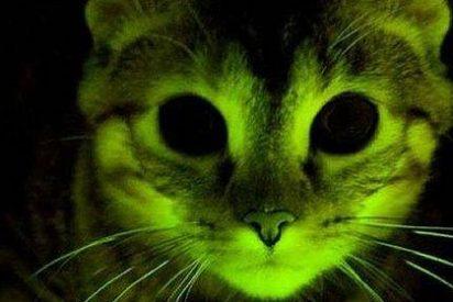 Gatos fosforescentes para investigar los secretos del sida
