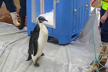 'Happy Feet' desaparece cuando volvía a su casa en la Antartida