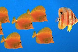 Un pez utiliza una piedra como herramienta para comerse una almeja