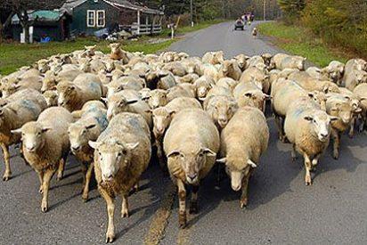 Las ovejas volverán a recorrer las calles de Madrid en la popular fiesta de la trashumancia