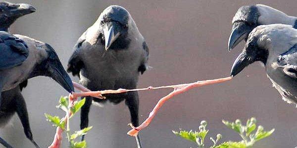 Descubren una habilidad de los cuervos: señalan objetos con el pico