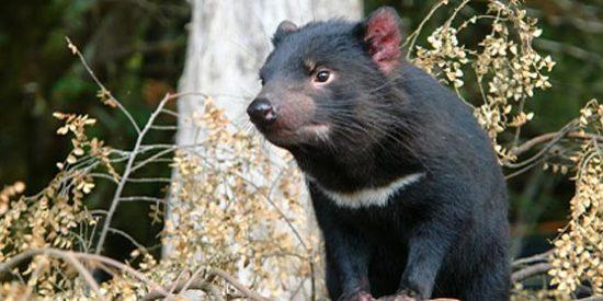 La historia de cómo la investigación de un tumor salvó al demonio de Tasmania