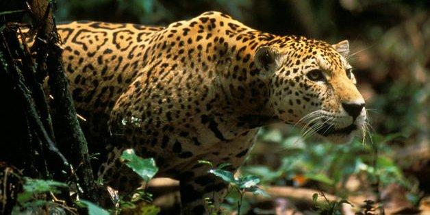 ¿Por qué conviven pacíficamente los jaguares y los pumas?