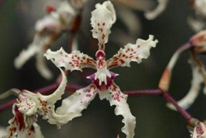 Descubren en Nueva Guínea la primera orquídea nocturna