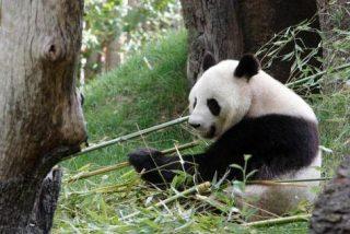 Los científicos deciden abandonar al Oso Panda a su suerte