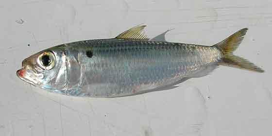 Las diez mejores sardinas en lata del mundo