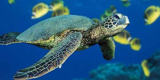 La tortuga que tarda 45 años para llegar a la edad reproductiva
