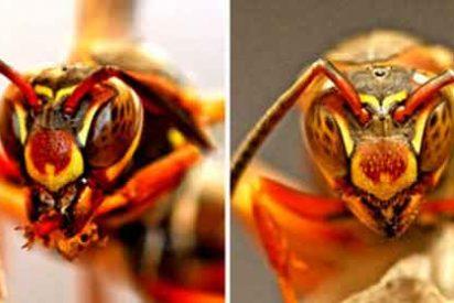 Las avispas son muy listas y se reconocen por la cara unas a otras
