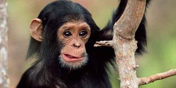 EEUU intentaba acabar con el uso de chimpances den los laboratorios