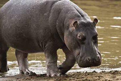 Las cámaras ocultas cazan al hipopótamo pigmeo en Liberia