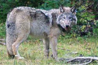 El lobo feroz que se sentía triste y recorrió 2.000 kilómetros por amor