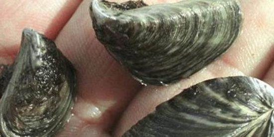 Las biobalas consiguen exterminar al mejillón cebra