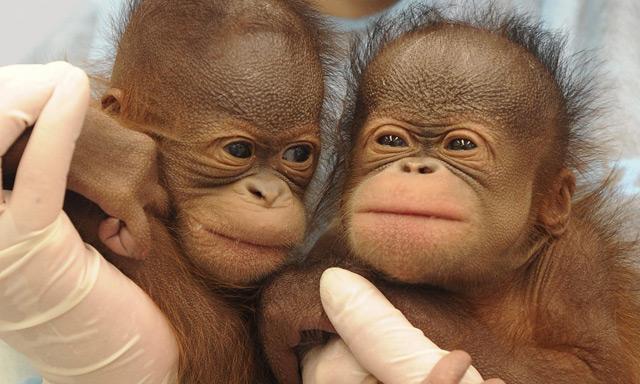 Aceite de palma, el gran enemigo de los orangutanes