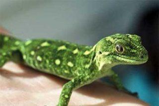 Un tipo se come un lagarto por una apuesta y muere tras varios días de agonía