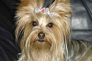 Un perro yorkshire.