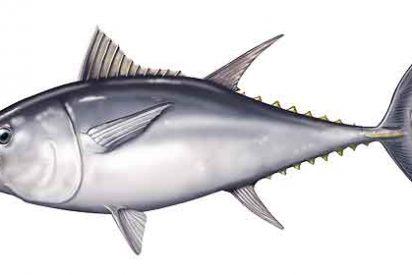 Pagan 569.000 por un atún rojo en la lonja de Tokio