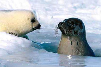 Las focas pasan a especie amenazada por culpa del calentamiento global