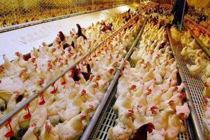 Bruselas sancionará a España por las jaulas de las gallinas
