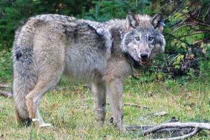 Denuncian a FNAC por poner un lobo vivo en su escaparate