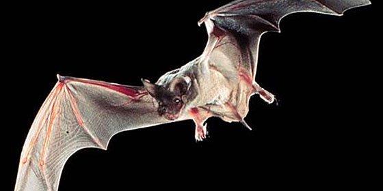Un hongo mata a millones de murciélagos en Norteamérica
