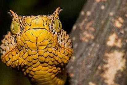'Matilda', la serpiente amarilla con cuernos que te mata en un pis-pas