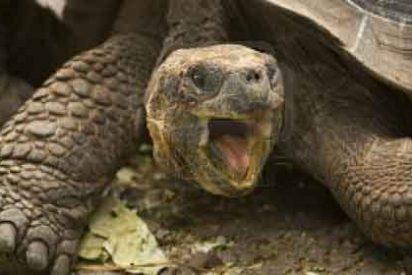 Una tortuga gigante extinta hace 150 años 'resucita' en las islas Galápagos