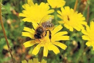 Las abejas melíferas asiáticas advierten a sus atacantes