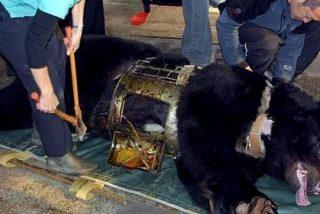 Crean una campaña contra la extracción de bilis de oso en China