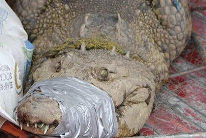 Autoridades mexicanas capturan a un cocodrilo mascota de 150 kilos