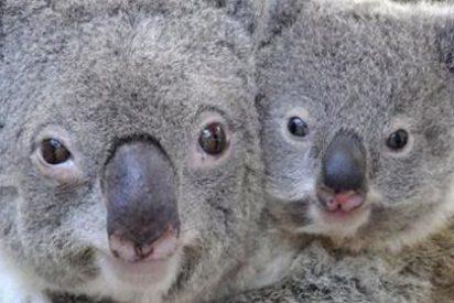 Una vacuna contra la clamidia impedirá que desaparezcan los koalas