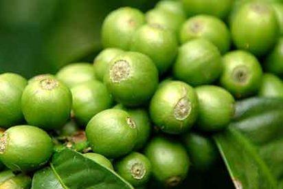 El grano de café verde es infalible como método para perder peso