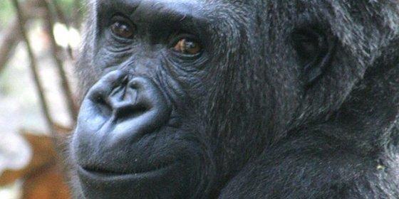 El ser humano se parece un 15% más al gorila que al chimpancé