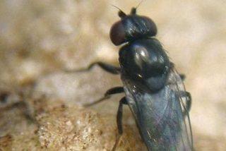 Las moscas de la fruta que no consiguen sexo se entregan al alcohol