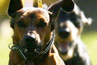 Los perros protegen a los elefantes de los cazadores furtivos en Congo