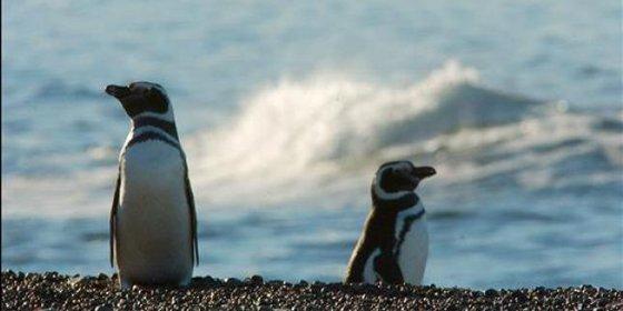 "Buscan en Tokio a un pingüino que se ha ""fugado"" de un acuario"
