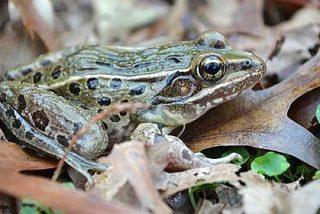 Descubren una nueva especie de rana en pleno centro de Nueva York