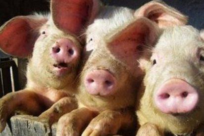 La mitad de las granjas de porcino incumple la norma de bienestar animal